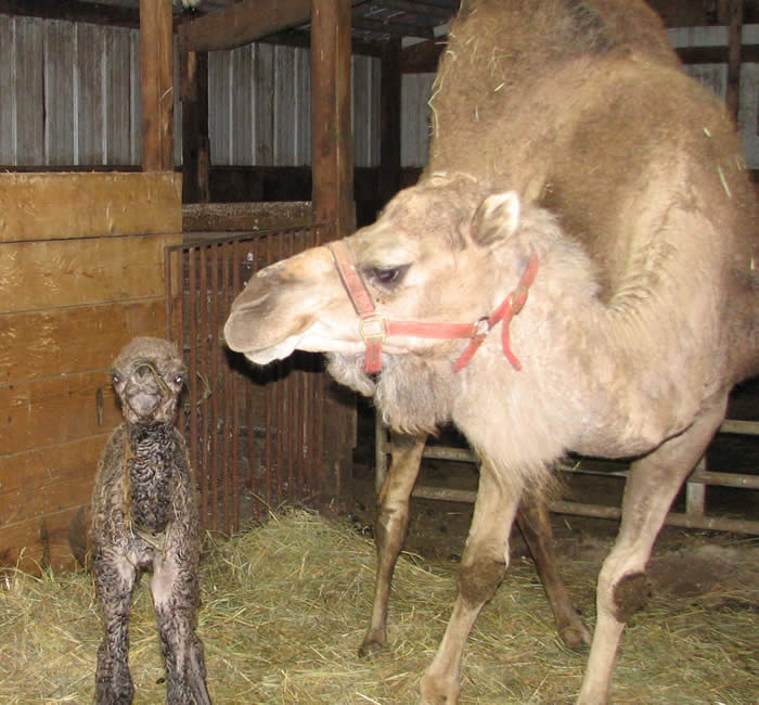 baby camel girl, born 4/19/09